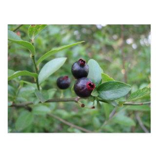 Fruta salvaje del arándano postal