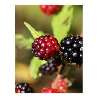 Frutas rojas y negras de la zarzamora tarjetas postales