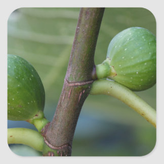 Frutas verdes de una higuera común pegatina cuadrada