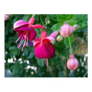 Fuchsia 1 postcard