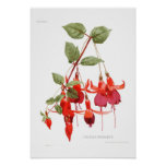 Fuchsia 'Monarch' Posters
