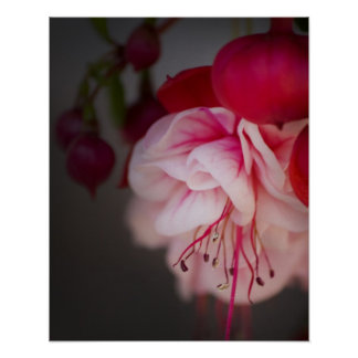 Fuchsia Pink White and Red Flowers Poster