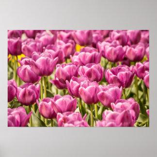 Fuchsia Tulips Field - Poster