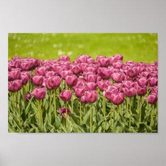 Fuchsia Tulips - Poster