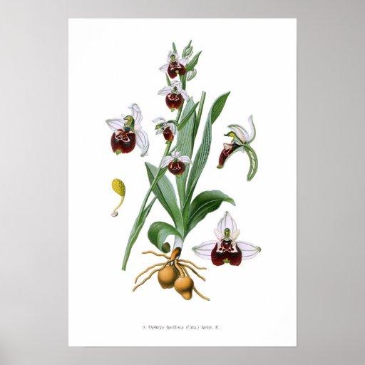 Fuciflora del Ophrys Impresiones