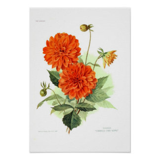 Fuego anaranjado King de la dalia Poster