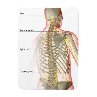 Fuente del nervio del cuerpo superior imán rectangular