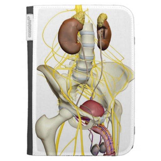 Fuente del nervio del sistema urinario