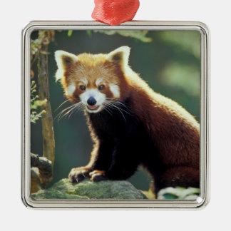 Fulgens del Ailurus de la panda roja) Adorno Cuadrado Plateado