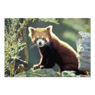 Fulgens del Ailurus de la panda roja) Impresiones Fotograficas