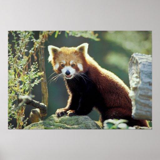 Fulgens del Ailurus de la panda roja) Posters