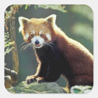 Fulgens del Ailurus de la panda roja) Colcomania Cuadrada