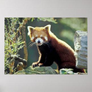 Fulgens del Ailurus de la panda roja) Póster