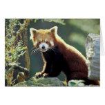 Fulgens del Ailurus de la panda roja) Tarjeta De Felicitación