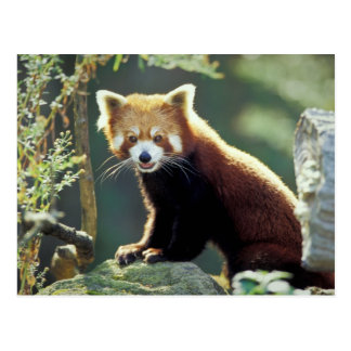 Fulgens del Ailurus de la panda roja) Tarjetas Postales