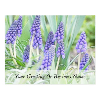 Full Bloom - Grape Hyacinths! Postcard