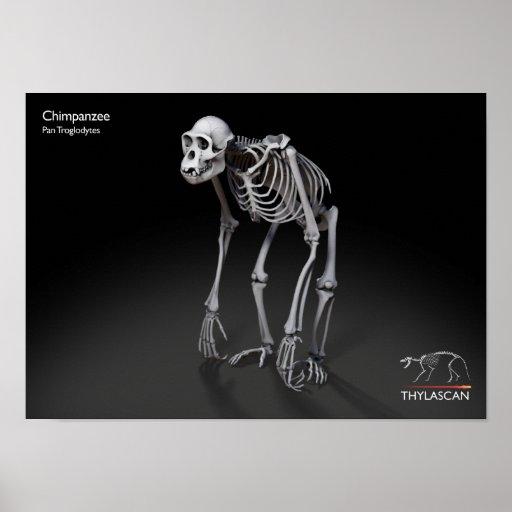 Full Chimpanzee Poster
