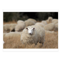 Full fleece sheep postcard