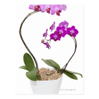 Full frame Orchid isolated on a white background Postcard