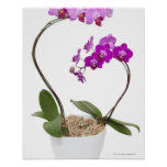 Full frame Orchid isolated on a white background Posters