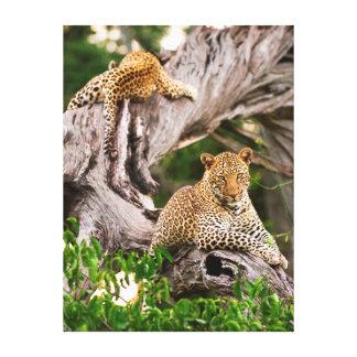 Full Grown Leopard (Panthera Pardus) Cub Stretched Canvas Print
