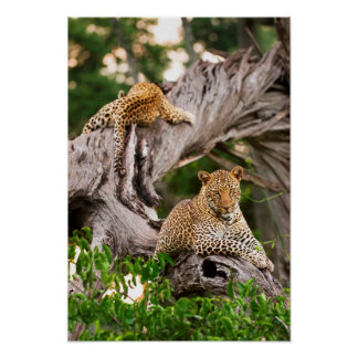 Full Grown Leopard (Panthera Pardus) Cub Poster