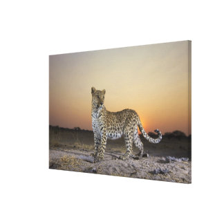 Full length view of Leopard Panthera pardus Stretched Canvas Prints