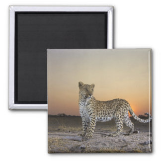 Full length view  of  Leopard (Panthera pardus) Magnet
