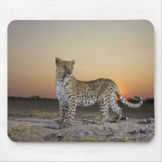 Full length view  of  Leopard (Panthera pardus) Mouse Pad