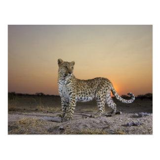 Full length view  of  Leopard (Panthera pardus) Postcard