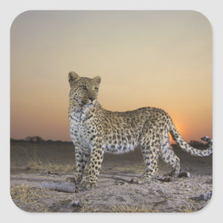 Full length view  of  Leopard (Panthera pardus) Square Sticker