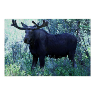 Full Size Moose Poster