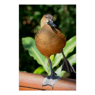 Fulvous Whistling Duck On Rail Poster