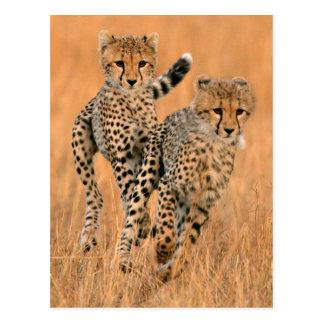Funcionamiento joven de los guepardos (Acinonyx Tarjeta Postal