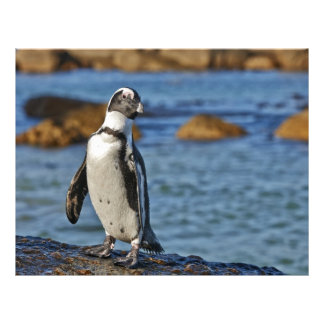 funny African Penguin, Boulders Beach Letterhead Template