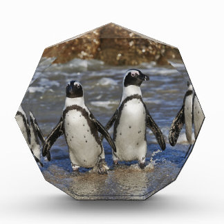funny African Penguins, Cape Town Acrylic Award