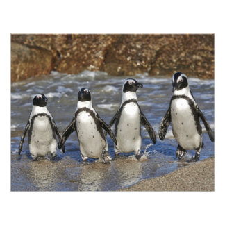 funny African Penguins, Cape Town Personalized Letterhead