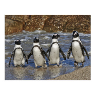 funny African Penguins, Cape Town Post Cards