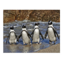 funny African Penguins, Cape Town Postcard