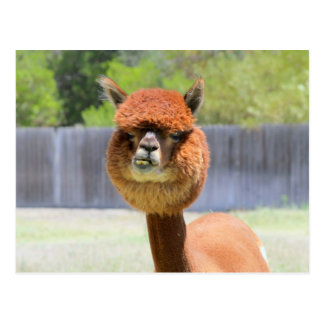 Funny Alpaca Post Card