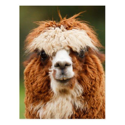 Funny alpaca with big teeth post card