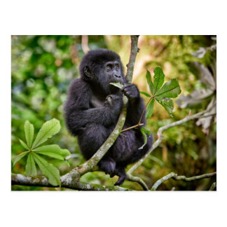 funny and cute juvenile mountain gorilla 5 postcard