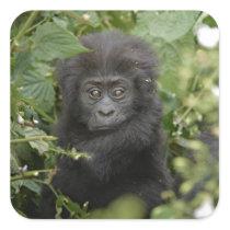 funny baby mountain gorilla, beringei beringei square sticker