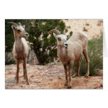 Funny Bighorn Sheep at Zion National Park Card