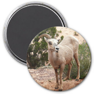 Funny Bighorn Sheep at Zion National Park Magnet