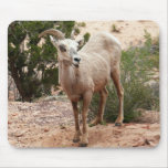 Funny Bighorn Sheep at Zion National Park Mouse Pad