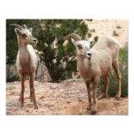 Funny Bighorn Sheep at Zion National Park Photo Print
