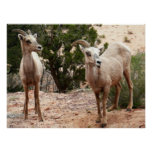 Funny Bighorn Sheep at Zion National Park Poster