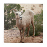 Funny Bighorn Sheep at Zion National Park Tile