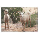 Funny Bighorn Sheep at Zion National Park Tissue Paper